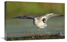 Scott Leslie - Black-bellied Plover spreading its wings, Bay of Fundy, Nova Scotia, Canada
