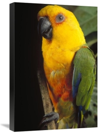 Claus Meyer - Yellow-faced Parrot portrait, threatened, southern Brazil