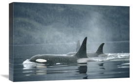 Flip Nicklin - Orca group surfacing, Johnstone Strait, British Columbia, Canada