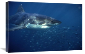Mike Parry - Great White Shark swimming underwater, Neptune Islands, South Australia
