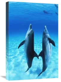 Todd Pusser - Atlantic Spotted Dolphin pair, Bahamas
