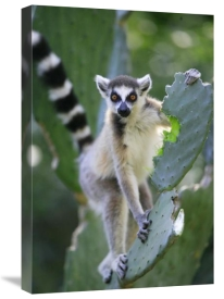 Cyril Ruoso - Ring-tailed Lemur eating Opuntia cactus, Madagascar