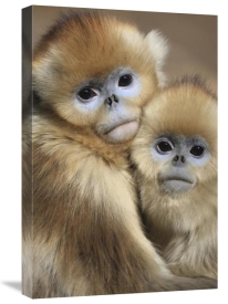 Cyril Ruoso - Golden Snub-nosed Monkey juveniles huddled up against each other to keep warm, Qinling Mountains, China