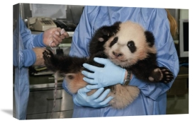 San Diego Zoo - Giant Panda young held by zoo staff, native to China