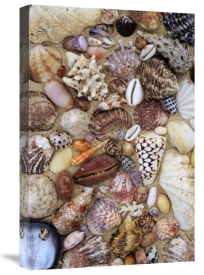 Rinie Van Meurs - Various conch, cowry, clam and other marine shells