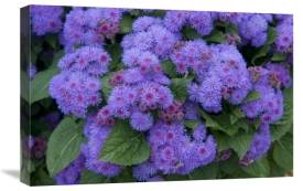 VisionsPictures - Ageratum ariella power violet variety flowers