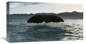 Flip Nicklin - Sperm Whale diving, New Zealand