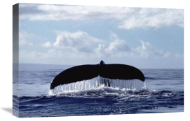 Flip Nicklin - Humpback Whale tail