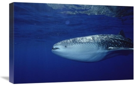Flip Nicklin - Whale Shark portrait, largest shark species, Cocos Island, Costa Rica