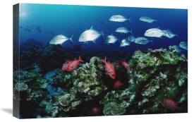 Flip Nicklin - Cavalla and Squirrelfish schools patrolling reef, Cocos Island, Costa Rica