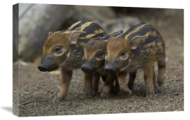San Diego Zoo - Red River Hog piglet trio, native to Africa