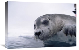 Flip Nicklin - Bearded Seal pup on ice edge, Arctic