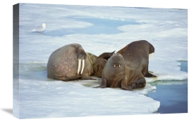 Tui De Roy - Atlantic Walrus bachelor bulls on ice floe, Spitsbergen, Svalbard, Norway