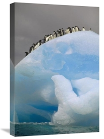 Tui De Roy - Adelie Penguin group on iceberg, South Orkney Islands, Antarctica