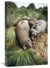 Tui De Roy - Southern Elephant Seal juveniles in tussock grass, Falkland Islands