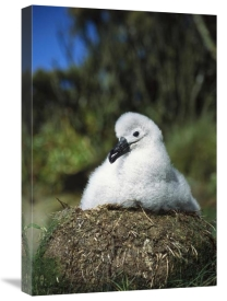 Tui De Roy - Campbell Albatross portrait of young chick, Campbell Island, New Zealand