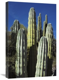Tui De Roy - Cardon cacti, Sea of Cortez, Baja California, Mexico