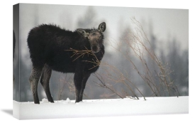 Michael Quinton - Moose cow feeding on a willow branch in the winter, Idaho