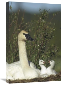 Michael Quinton - Trumpeter Swan parent and squabbling day old cygnets, North America