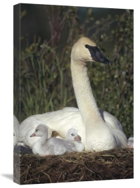 Michael Quinton - Trumpeter Swan mother on nest with chicks, North America