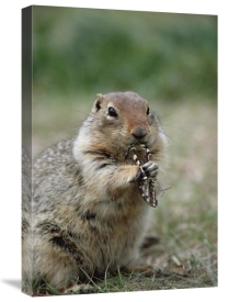 Michael Quinton - Arctic Ground Squirrel feeding on butterfly, Alaska