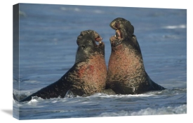 Tim Fitzharris - Northern Elephant Seal males fighting, California