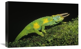 Konrad Wothe - Jackson's Chameleon climbing up moss-covered branch, east Africa