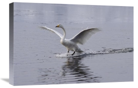 Konrad Wothe - Whooper Swan landing on lake, Japan