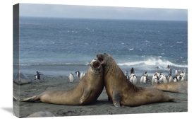 Konrad Wothe - Southern Elephant Seal males fighting, Macquarie Island