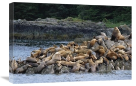 Konrad Wothe - Steller's Sea Lions congregating on rock, West Brother Island, Alaska