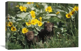 Gerry Ellis - Timber Wolf pups among flowers, North America