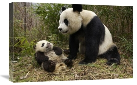 Katherine Feng - Giant Panda and baby in bamboo forest, Wolong Nature Reserve, China