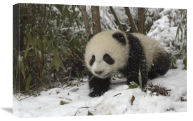 Katherine Feng - Giant Panda six month old cub in snow, Wolong Nature Reserve, China