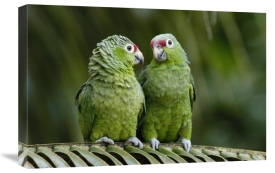 Pete Oxford - Red-lored Parrot pair sitting on branch, Ecuador