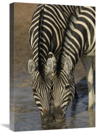 Pete Oxford - Burchell's Zebra pair drinking from waterhole, Africa