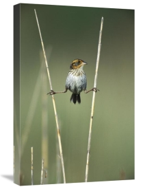 Tom Vezo - Sharp-tailed Sparrow perched on reeds, Long Island, New York