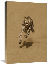 San Diego Zoo - Cheetah running, native to Africa - Sepia