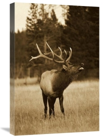 Michael Quinton - Elk male bugling during rut,autumn, Yellowstone National Park, Wyoming - Sepia