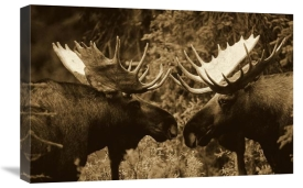 Michael Quinton - Alaska Moose males confronting each other in the fall, Alaska - Sepia