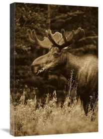 Michael Quinton - Alaska Moose feeding on Fireweed flowers in the spring, Alaska - Sepia