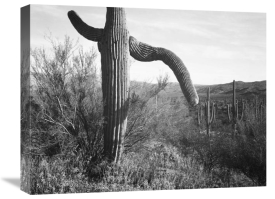 Ansel Adams - Cactus at left and surroundings, Saguaro National Monument, Arizona, ca. 1941-1942