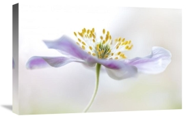 Mandy Disher - Wood Anemone