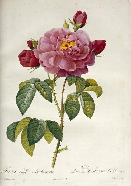 Pierre Joseph Redoute Les Duchess D Orleans Rose Art