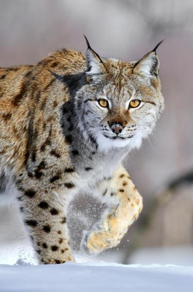 Jasper Doest  Eurasian Lynx Walking Through The Snow