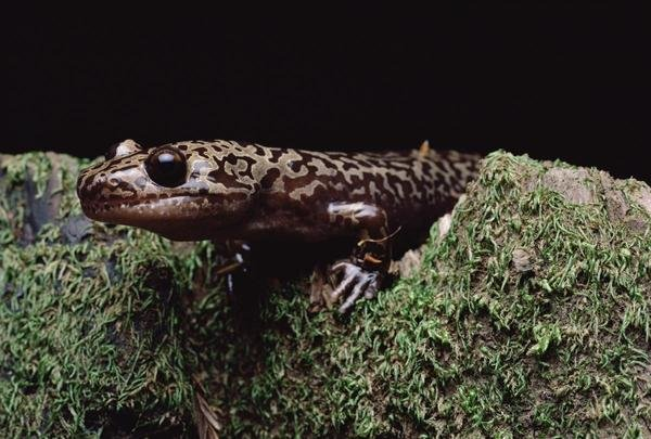 Pacific giant salamander