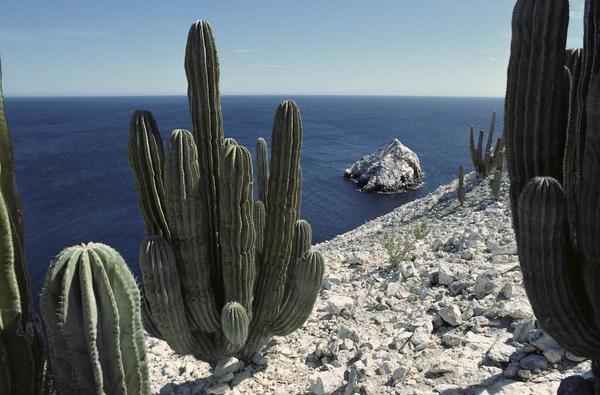 Tui De Roy Cardon Cactus On Cliffs Isla San Pedro
